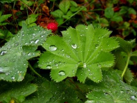 lady's mantle with raindrops