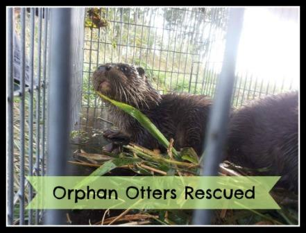 Orphan Otters Rescued