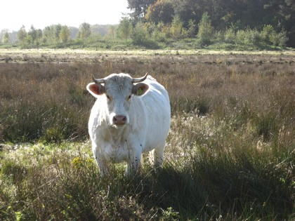 cow drents-friese wold