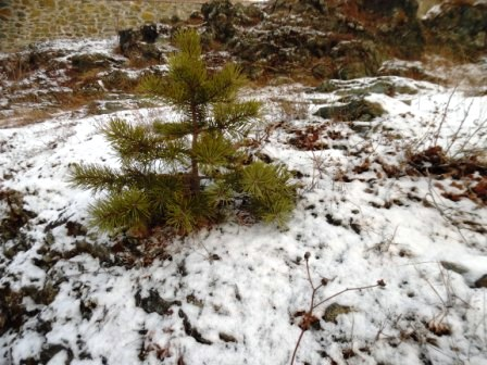 little tree in the snow
