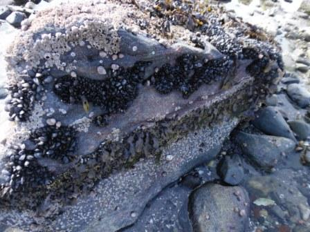 Look at how the mussels and other sea organisms have spread themselves over this stone. Can you see the different layers?