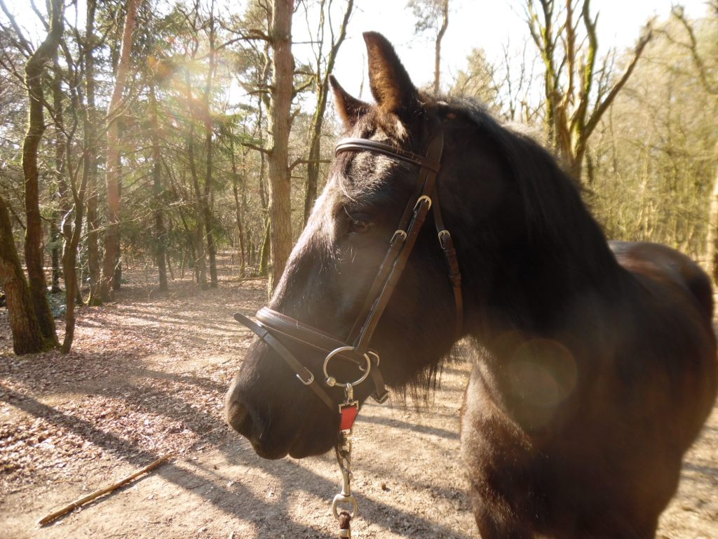 beautiful black horse in the forest