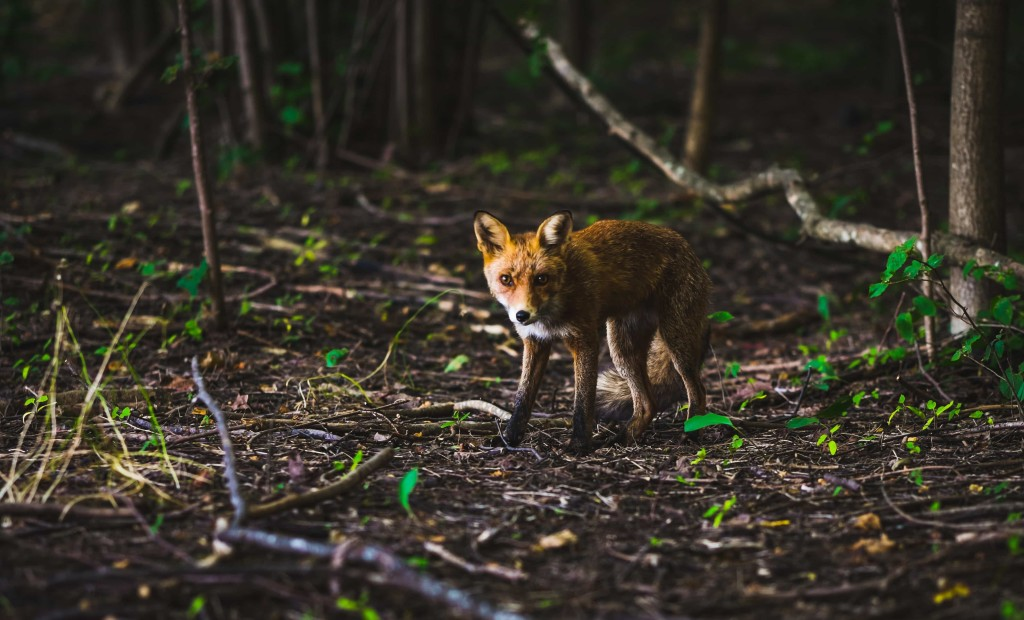 Could you come up with at least eight species that are directly or indirectly affected by this little fox?